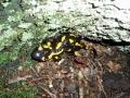 A salamander in Lipa Ravine